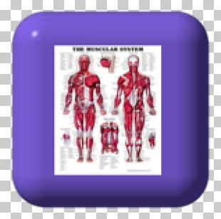The Muscular System Anatomical Chart Human Anatomy Human Body Muscle PNG