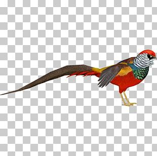 Zoo Tycoon 2 Lady Amherst's Pheasant Bird Golden Pheasant PNG