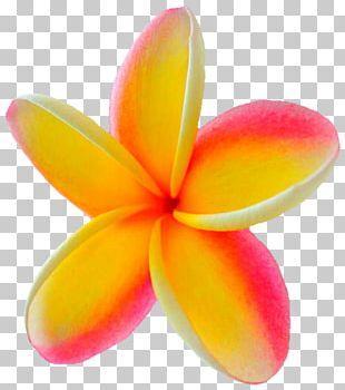 Stock Photography Frangipani PNG