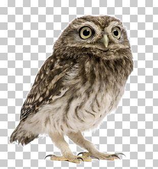 Little Owl Snowy Owl Eurasian Eagle-owl Tawny Owl PNG