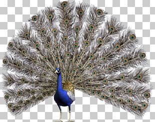 Peafowl Stock Photography PNG