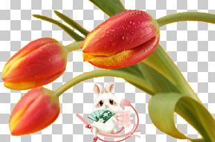 Flower Tulip PNG