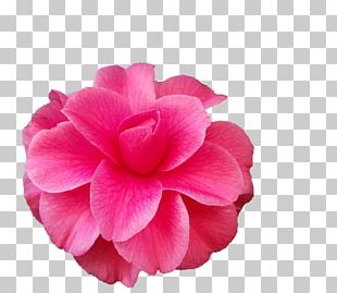 Flower Japanese Camellia The Best Camellias Petal Rose PNG