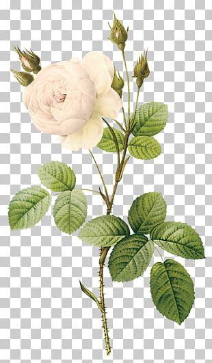 Rose Flower Botanical Illustration Botany White PNG