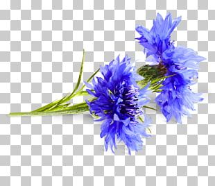 Cornflower Cyanus Medicinal Plants PNG