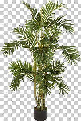 Albizia Julibrissin Weeping Fig Arecaceae Areca Palm Tree PNG