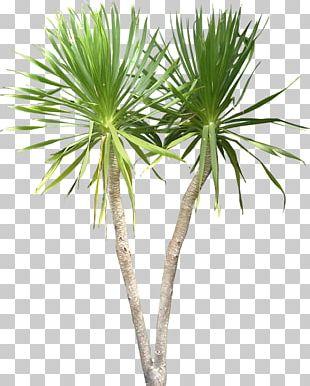 Dracaena Draco Plant Tree Tropics PNG