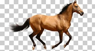 Thoroughbred American Quarter Horse Friesian Horse Colt Stallion PNG
