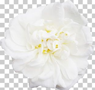 White Flower Peony PNG