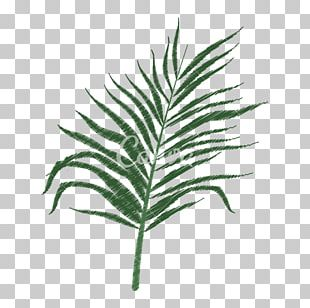Arecaceae Tree Leaf Branch Plant Stem PNG