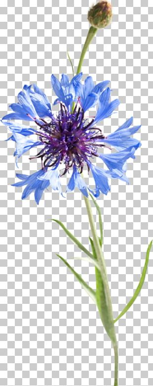 Cornflower Blue Watercolor Painting Drawing PNG