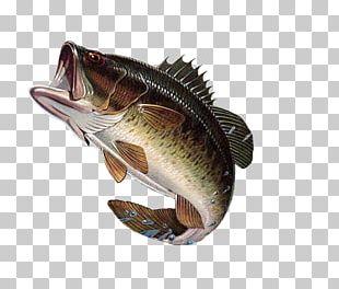 Largemouth Bass Bass Fishing Guadalupe Bass PNG