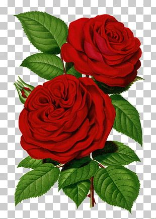 Garden Roses Cabbage Rose Printing Flower Rose Garden PNG