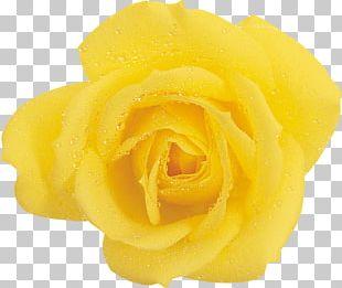 Garden Roses Yellow Beach Rose Flower PNG