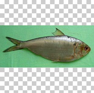 Sardine Fish Products Milkfish Oily Fish Herring PNG