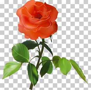 Garden Roses Cabbage Rose Floribunda Beach Rose Flower PNG