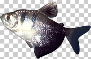 Milkfish Cod Fish Products Oily Fish PNG