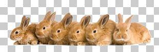 Domestic Rabbit Rex Rabbit Netherland Dwarf Rabbit Tan Rabbit Holland Lop PNG