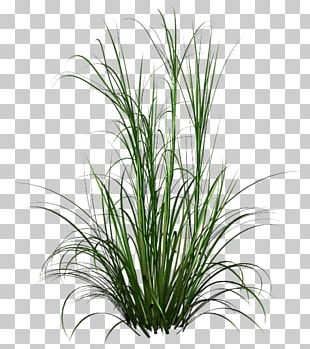 Fountain Grass Ornamental Grass PNG