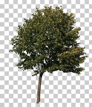 American Sycamore Quercus Acutissima English Oak Tree 3D Computer Graphics PNG