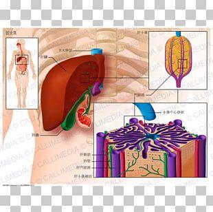 Lobe Lobules Of Liver Anatomy Hepatic Veins PNG