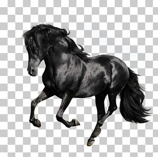 Andalusian Horse American Quarter Horse Arabian Horse Gallop Stallion PNG