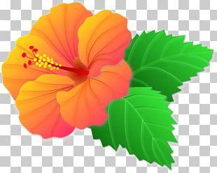 Shoeblackplant Mallows Flowering Plant Annual Plant PNG