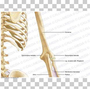 Bone Human Anatomy Arm Coronal Plane PNG
