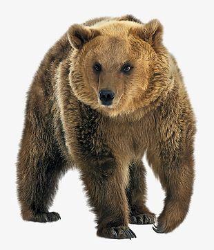 Wild Brown Bear PNG