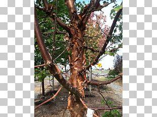 Shade Tree Nursery Maple Big Trees Inc PNG