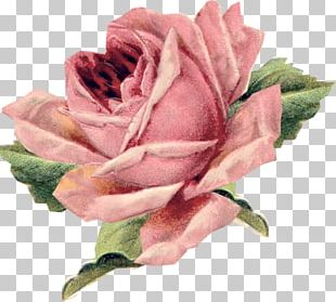 Vintage Roses: Beautiful Varieties For Home And Garden Vintage Clothing Pillow Flower PNG