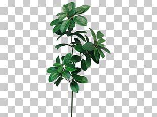 Leaf Shrub Plant Stem Cordyline Camellia PNG