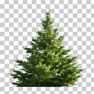 Nordmann Fir Christmas Tree Pine PNG