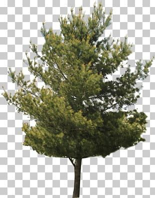 Red Maple Tree Pine PNG