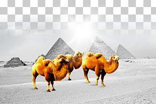 Camel Fundal Poster PNG