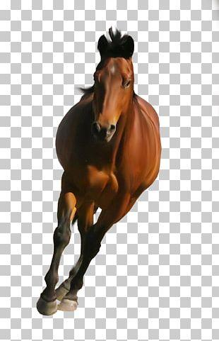 Arabian Horse Shire Horse Belgian Horse Friesian Horse PNG