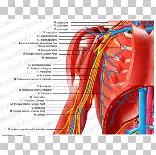 Shoulder Nerve Outline Of The Human Nervous System Arm PNG