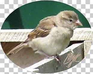 House Sparrow Bird Finch Wren PNG