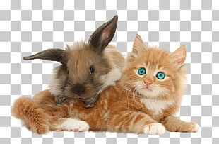 Kitten Domestic Rabbit Maine Coon Abyssinian Cat PNG