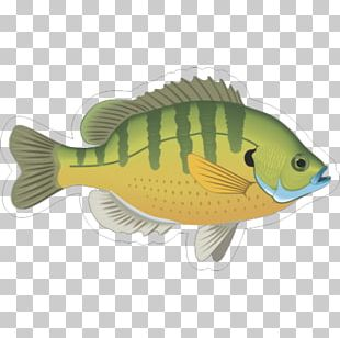 Bluegill Fish Gill Ornamental Fish PNG