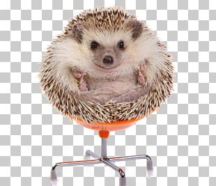 European Hedgehog Four-toed Hedgehog Stock Photography Domesticated Hedgehog PNG