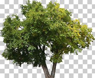 Tree Oak Shrub Lindens Plant PNG