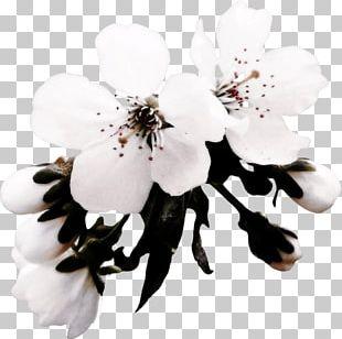 Bunga Sakura Png Images Bunga Sakura Clipart Free Download