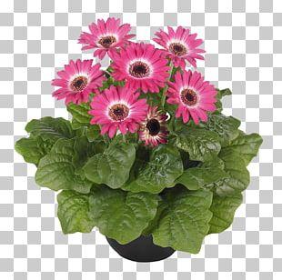 Transvaal Daisy Chrysanthemum Cut Flowers Floristry PNG