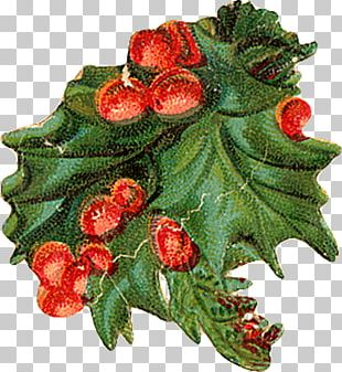 Holly Aquifoliales Christmas Ornament Natural Foods PNG