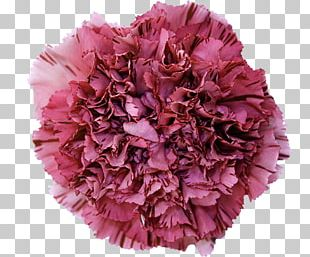 Carnation Cut Flowers China Pink PNG