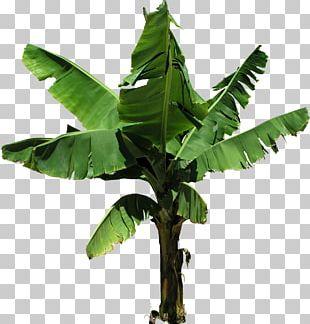 Cooking Banana Tree Coconut PNG