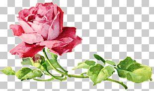 Garden Roses Cabbage Rose Floral Design Cut Flowers Petal PNG