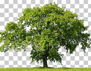 Oak Tree Stock Photography Stock.xchng PNG