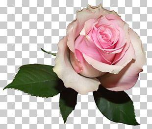 Pink Garden Roses Flower Color PNG